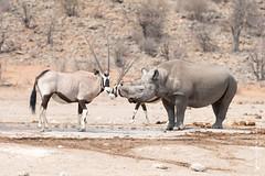 DSC_3685.JPG (manuel.schellenberg) Tags: namibia animal etosha nationalpark blackrhino rhino