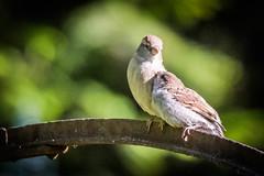 Des moineaux amoureux (pmermino) Tags: oiseaux birds love kiss bisous