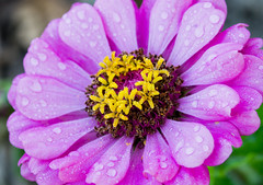 Zinnie mit Morgentau (Danyel B. Photography) Tags: zinnia zinnie flower blume petal blossom blte blatt pflanze plant morning dew tau water nature natur colors bokeh details macro makro close nah