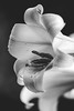 Lily (Khris Robinson) Tags: lily flowers nature blackandwhite art photography bleh tags