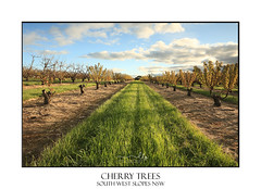 Rows of Cherry Trees (sugarbellaleah) Tags: cherrytrees trees cherries young farm farming agriculture fruit growing rows afternoon sunlight nature pretty beautiful farmlandcrips industry harvest spring southwestslopes nsw australia