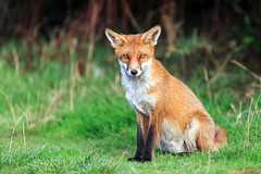 Red Fox (Fazer44) Tags: redfox red fox wild animal