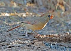 Northern Cardinal (f) (1krispy1) Tags: cardinals northerncardinal texasbirds