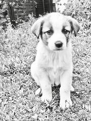 Dog 7 @dogsedition (Robert Krstevski) Tags: robertkrstevski robertkrstevskiblogspotcom dog dogs pet pets animal animals puppy puppies perro perros собака собаки edition popular куче flicker macedonia bitch cute cuteness photography photo photooftheday photograph