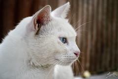 El gato Luni (Sento MM) Tags: gato felino