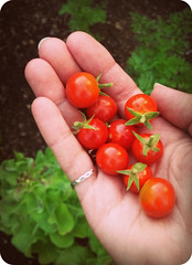 Cherry Tomatoes (Melacacia - Please no FMs) Tags: garden tomato cherry tomatoes harvest organic
