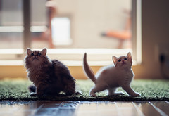 Kittens Looking Up (torode) Tags: japan contrast cat tokyo persian kitten pair hannah siblings daisy scottishfold narrowdof