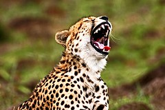 WOW----3000 !!! (Picture Taker 2) Tags: africa wild beautiful closeup cat colorful pretty bigcat cheetah hunter unusual predator upclose mammals wildanimals africaanimals almostanything wowiekazowie flickrbigcats