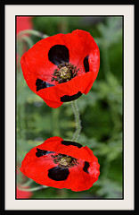 Poppy Reflections (Eleanor (WHU)) Tags: poppy thelook floralfantasy thethreeangels flowersarebeautiful butterflyaward qualifiedmembersonly visionaryartsgallery nikond3100 certifiedphotographerlevel1 anythingnikonexceptpeople hamptoncourtflowershow2012