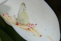What a precious, lovely coleurs (Podere del Buongustaio, Montegiove Umbria) Tags: pink red italy white butterfly leaf italia cream rosa creme blad drip honey magnolia foglia rood wit rosso bianco crema miele italie farfalla vlinder roze stampers honing koolwitje cabbagebutterfly drup jeansgarden pestles pestelli gocciolamento poderedelbuongustaio cavolofarfalle