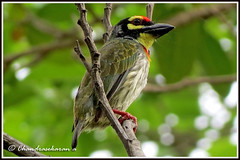 2349 - coppersmith barbet - on duty (chandrasekaran a 560k + views .Thanks to visits) Tags: india nature birds canon chennai coppersmith barbet thegalaxy powershotsx40