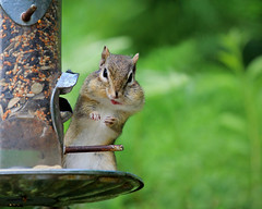 Intermission (Nancy Rose) Tags: wild cute bird animal backyard feeder peanuts full chipmunk cheeks