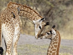 Sibling love (sole riley) Tags: africa travel baby cute love birds affection sweet ngc adorable siblings safari npc giraffe botswana mombo necking mfcc okavangodelta oxpeckers specanimal specanimalphotooftheday natureselegantshots coth5