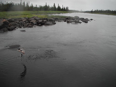 salmon (Patrickjack) Tags: fish rain newfoundland river fishing salmon splash stanthony