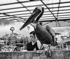 Waiting (antonioVi (Antonio Vidigal)) Tags: santacruz nature islands ecuador waiting market pelican galapagos wait equator puertoayora antoniovidigal antoniovi