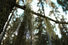 Hang on there (Kaiii96) Tags: green nature forest moss woods lichen treest