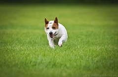 1000 (JRT ) Tags: wallpaper dog grass fur jack nose flying eyes nikon jrt russell thankyou ears terrier jackrussell belle paws jackrussellterrier flickrstaff wythall thegalaxy brownhead d40x batmanears 1000upload johnwarwood wythallpark thankyouflickrstaff