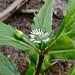 Eclipta prostrata - False daisy