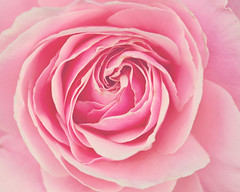 Rosy (Melanie Alexandra Photography) Tags: pink flower nature floral rose botanical natural bloom swirls rosepetals rosy softpink