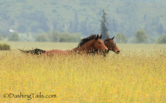 Free Spirits (sagetopaz) Tags: horses horse field oregon race pasture equine gallop