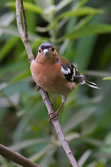 CHAFFINCH MALE (Trevsbirds) Tags: chaffinch me2youphotographylevel1 freedomtosoarlevel1birdphotosonly