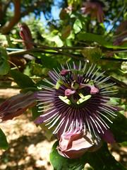 "giardini Hanbury  : passiflora  ""amethyst"" (g.fulvia) Tags: flowers italia passiflora thunbergia fiori passionflower piante botanicalgarden hambury flickrflorescloseupmacros"