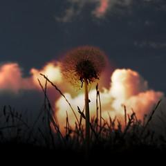 bye bye (mahohn) Tags: sunset flower 11 flickraward flickraward5