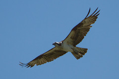 Osprey In Flight (Mikeydubz1) Tags: statepark travel students hiking michigan backpacking upnorth lakesuperior osprey porcupinemountains scienceclub wrhs scottheister