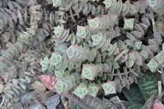 Crassula perforata (douneika) Tags: crassulaceae crassula perforata