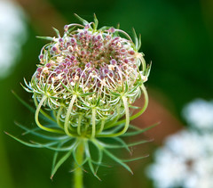 Seed Head. (uplandswolf) Tags: eye peterborough cambridgeshire naturereserves eyegreen eyegreennaturereserve