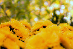 Day 77 of 365 (nele z.) Tags: flowers flower macro nature girl yellow female photoshop project germany outside deutschland photography focus day photographer bokeh natur young blumen days gelb adobe german teenager 365 blume 77 yellowflowers day77 deutsch naturephotography macrophotography fokus naturephotographer gelbeblumen femalephotographer youngphotographer innature drausen girlphotographer 365daysproject teenagephotographer germanphotographer