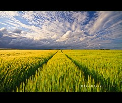 Pathway into the unknown, Brabant (lathuy) Tags: sunset field clouds contrast belgium belgique wheat champs dramatic crop t nuages brabant wallon wallonie bl oliennes orge constraste froment marbais