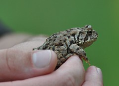 jack's friend mr. toad (explored 8/19/12) (morris 811) Tags: green hands nikon bokeh amphibian 300mm warts toad f4 d90
