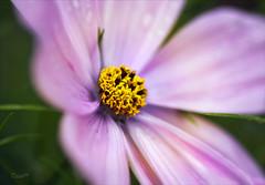 Elegance (Rosane Miller) Tags: uk pink summer england flower macro garden colours cosmos 2012 tamron90mm codurham canon60d