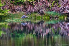 Albion River Great Blue Heron (Jeff Kreulen) Tags: california blur bird grass greatblueheron albion albionriver mendocinocounty greenreflection colorphotoaward