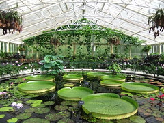 Magnificent Historic Waterlily House, Royal Botanic Gardens, KEW, London @ 16 June 2012 (Kam Hong Leung) Tags: park wood pink blue autumn winter summer orange plant flower tree green london heritage nature ecology grass yellow kew fauna garden season insect gold golden spring flora education flickr waterlily purple blossom wildlife royal conservation science bee lilac greenhouse stamen tropical mauve environment botanic bud pollen botany wildflower horticulture glasshouse nymphaea palmhouse springtime biodiversity kewgarden londonpark temperate stamina princessofwalesconservatory pollinator daviesalpinehouse waterlilyhouse kamhongleung leungkamhong yourkew naturalneighbourhood tempratehouse friendsofkew