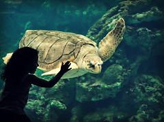 so close to be with you 212/366 (la cegna) Tags: żółw turtletortugaoceanopolisaquariunbiggirlchild