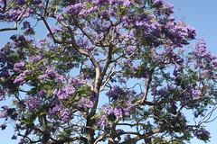Jacaranda Tree (Anna Sunny Day) Tags: jacarandatree