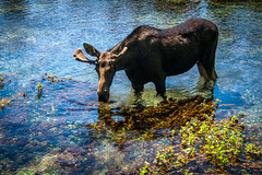 Moose (Stefano_in_SE_Idaho) Tags: summer nature water canon river photo wildlife july moose idaho islandpark eosdigitalrebelxti gemstate mygearandme 2003~2012stcphoto