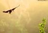 Black-bellied Whistling Duck - Bayou Courtableau, Louisiana (Image Hunter 1) Tags: trees tree green feet nature birds flying bill duck wings louisiana bokeh flight beak bayou swamp spanishmoss greenery marsh wingspan webbed wingspread blackbelliedwhistlingduck canoneos7d birdslouisiana bayoucourtableau