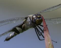DragonFly_SAF9915 (sara97) Tags: nature insect outdoors dragonfly missouri saintlouis predator towergrovepark mosquitohawk odonata flyinginsect urbanpark photobysaraannefinke copyright2016saraannefinke