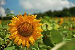 Champ de Tournesols (Skylark92) Tags: summer france frankrijk field sunflowers tournesol tournesols zonnebloem zonnebloemen veld girasoles girasol girasole girasoli