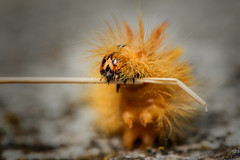 Ginger (fehlfarben_bine) Tags: caterpillar marcomonday ginger nikond800 1050mmf28 macro