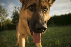 Dog (Unforgiiivable) Tags: dog chien chienne chiot outside german shepherd berger allemand month