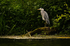 Heron (jammo s) Tags: heron greyheron bird fisher motionless waiting nature wildlife canoneos80d canonef400mmf56lusm