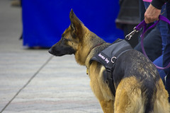 Service Dog (swong95765) Tags: dog germanshepherd animal service trained alert cute leash