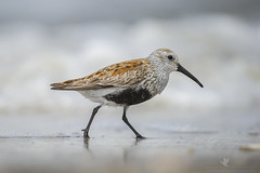 Dunlin (santosh_shanmuga) Tags: dunlin sandpiper peep bird birding aves shore shorebird beach ocean sand breeding plumage nikon d3s 500mm de delaware delawarebay bayshore bay sussex slaughter