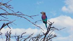 Lilac-Breasted Roller, Etosha National Park, Namibia (dannymfoster) Tags: africa namibia etosha nationalpark etoshanationalpark animal bird roller lilacbreastedroller