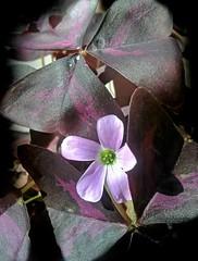 Purple Shamrock (anna anton *) Tags: purpleshamrock oxalis loveplant falseshamrock oxalistriangularis flora plant blossom macro daylight sunlight purple summer light shine shamrock