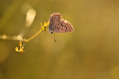 (Leela Channer) Tags: chalkhillblue closeup bokeh nature butterfly fennel sunset golden light garrigue france grasses insect